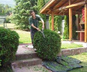 Подрязване на кълбовидни иглолистни храсти