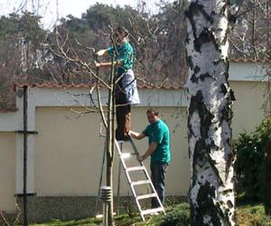 Пдрязване на овощни дървета