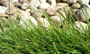 Обикновена полевица - Agrostis tenuis